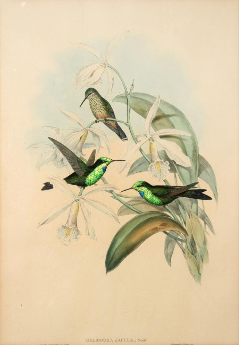 J. Gould - Heliodoxa Jacula
