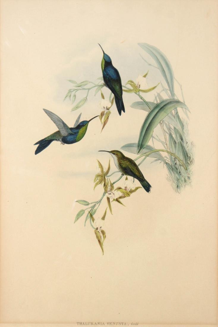 J. Gould - Thalurania Venusta