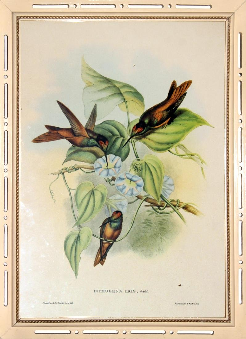 J. Gould - Diphogena Iris