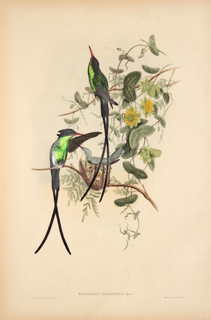 J. Gould - Trochilus Polytmus