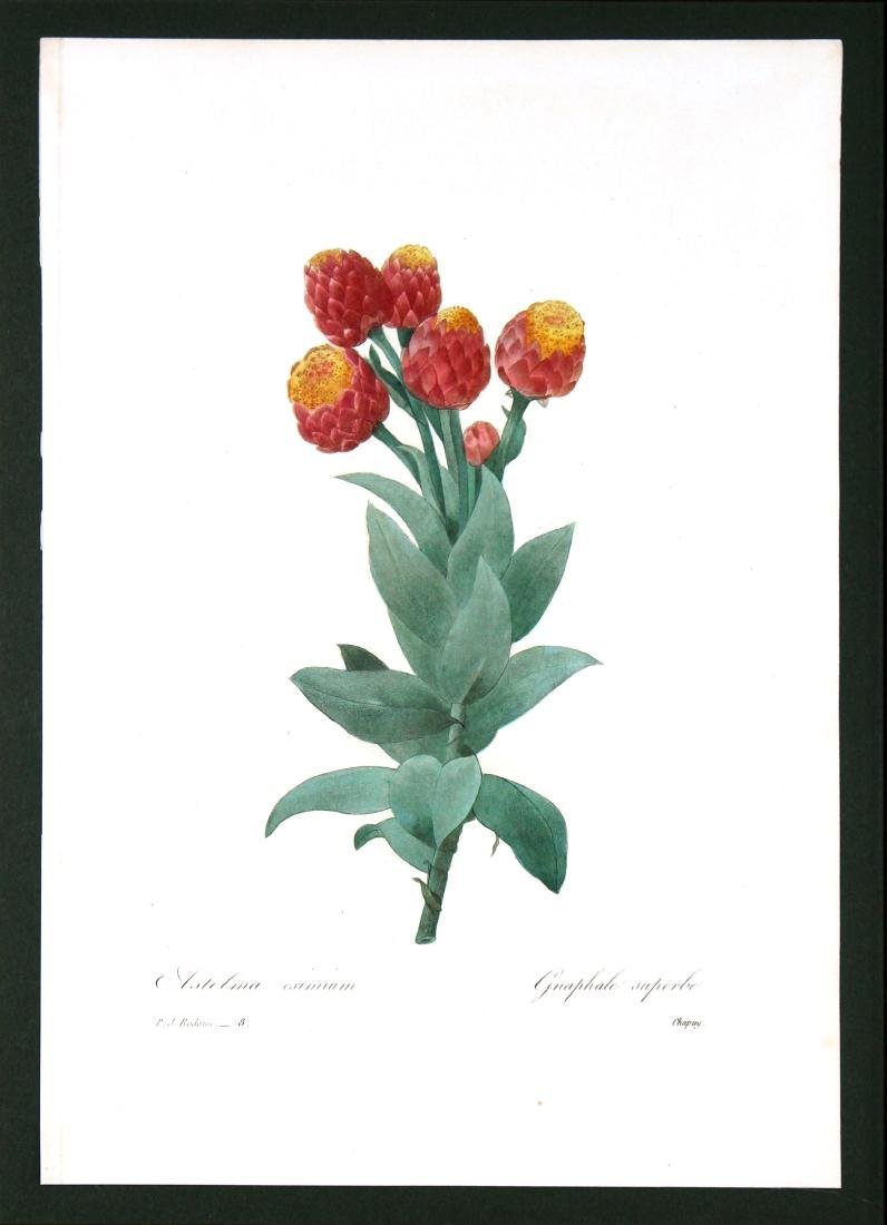 Pierre Joseph Redoute - Astelma Eximium