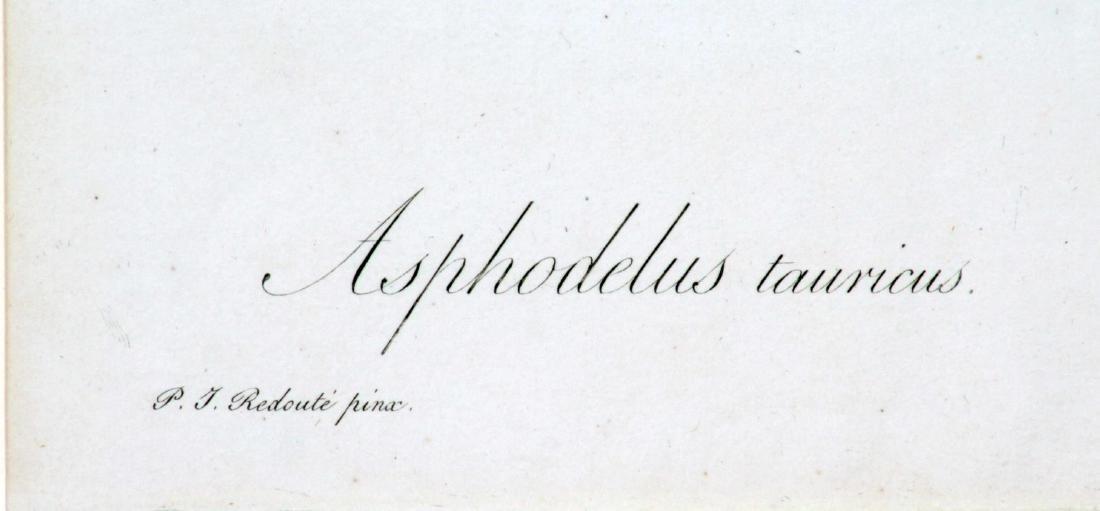 Pierre Joseph Redoute - Asphodelus Tauricus - 2