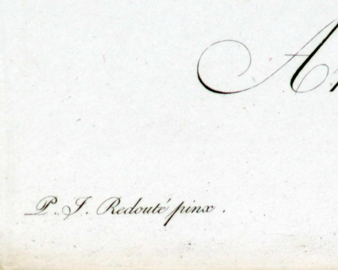 Pierre Joseph Redoute - Fairlily Amaryllis atamasco - 2