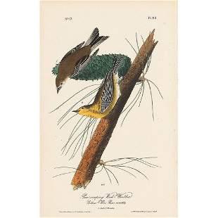 John James Audubon (After) - Pine Creeping Warbler