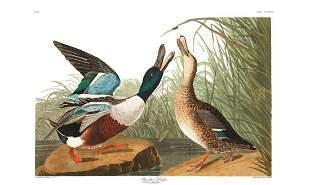 John James Audubon (After) - Shoveller Duck