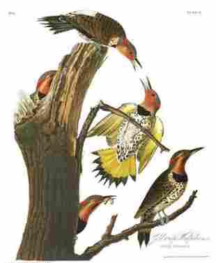 John James Audubon (After) - Golden-winged Woodpecker