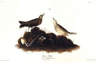 John James Audubon (After) - Brown Titlark
