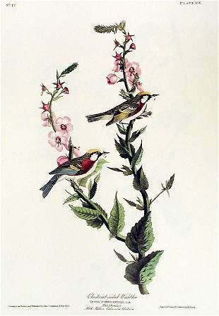 John James Audubon (After) - Chestnut Sided Warbler