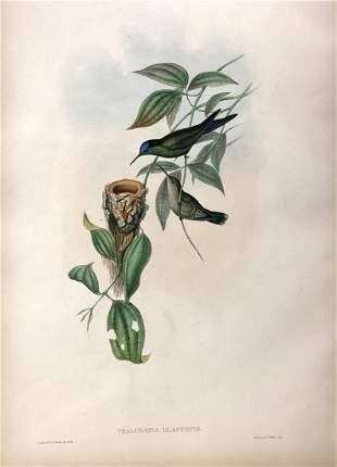 J. Gould - Thalurania Glaucopis