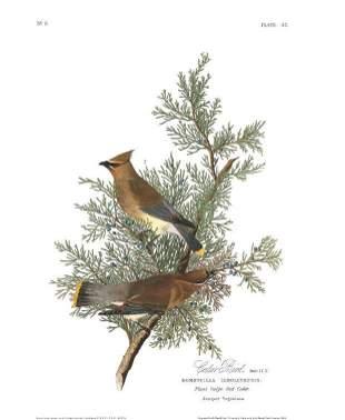 John James Audubon (After) - Cedar Bird