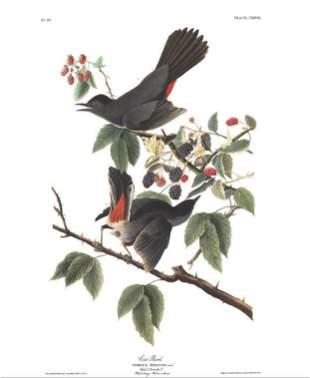 John James Audubon (After) - Cat Bird