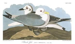 John James Audubon (After) - Kittywake Gull
