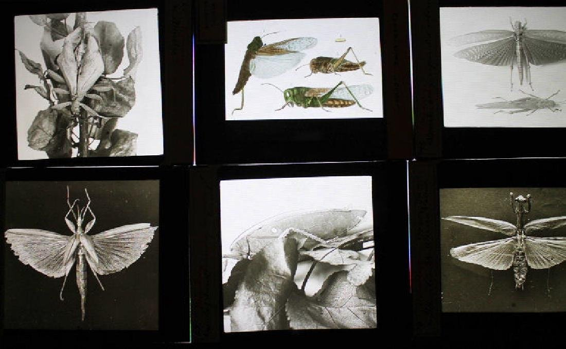 27 Lantern Slides - Insect mimicry