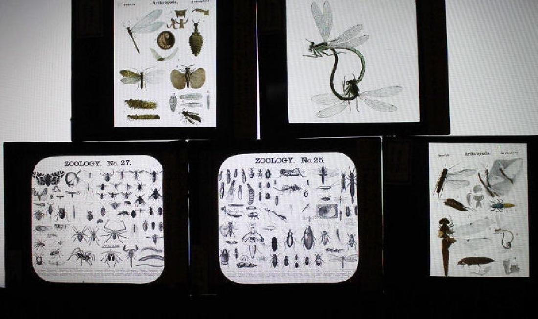 29 Lantern Slides - Misc insects Mengel Collection