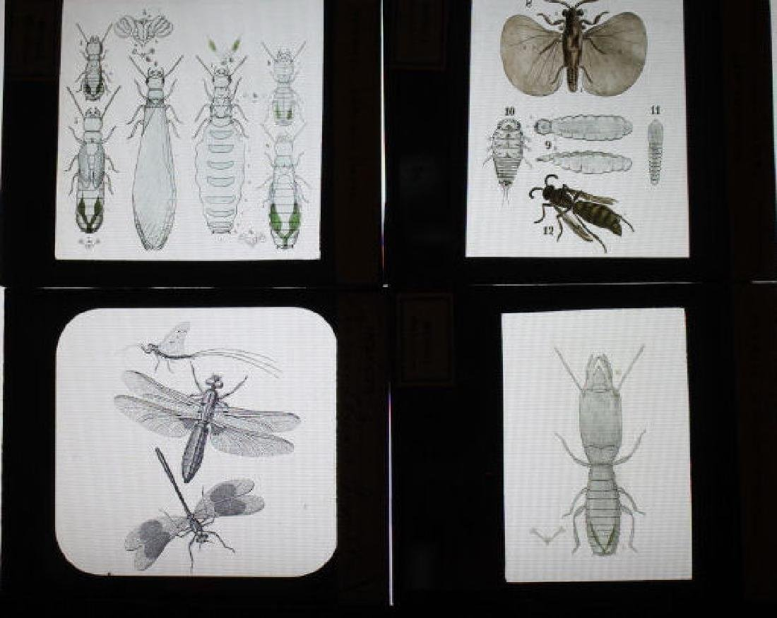 29 Lantern Slides - Misc insects Mengel Collection - 2