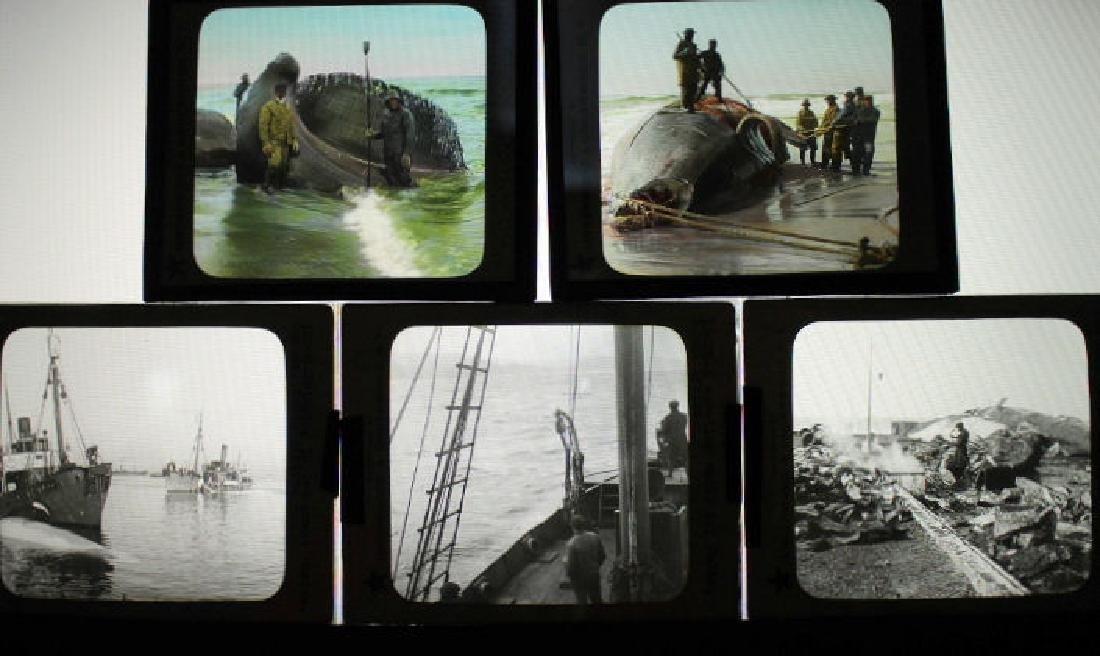 5 lantern slides - Whales