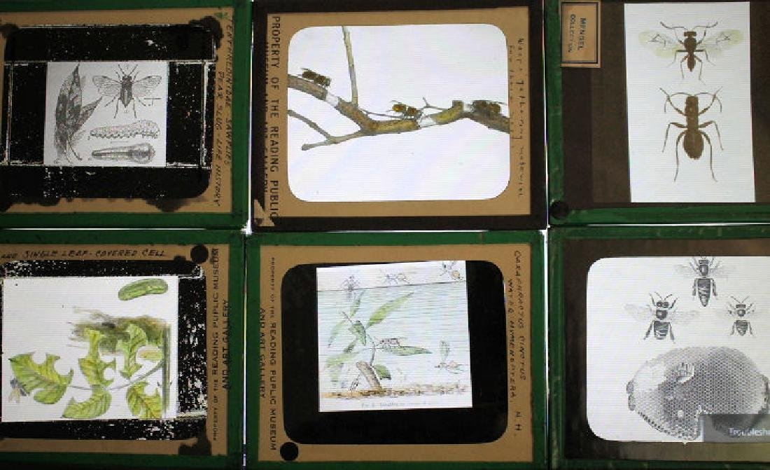18 Lantern Slides - Insects Mengel Collection