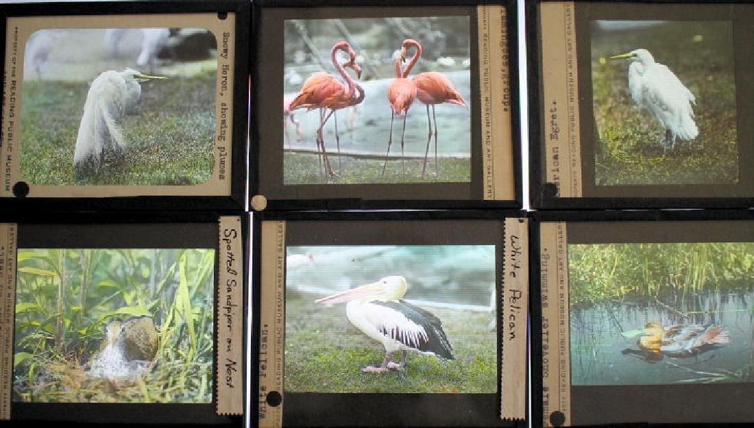 26 Lantern Slides - Water Birds