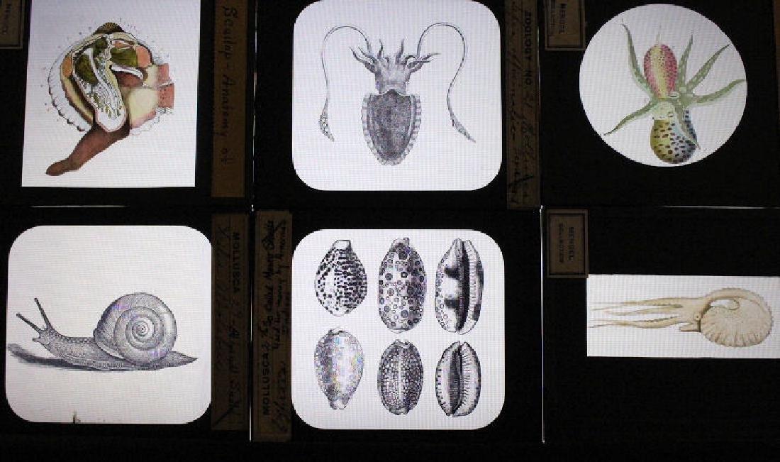 19 Lantern Slides - Mollusca Octopus, Scallop, etc