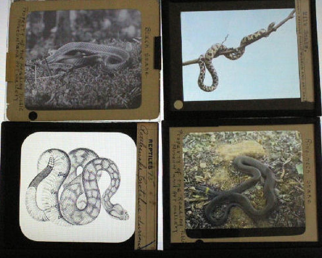 10 Lantern Slides - Snakes - 2
