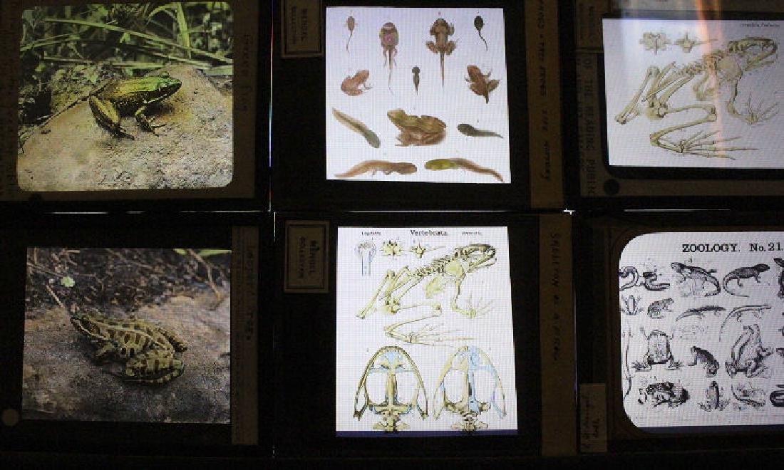 16 Lantern Slides - Anphibians