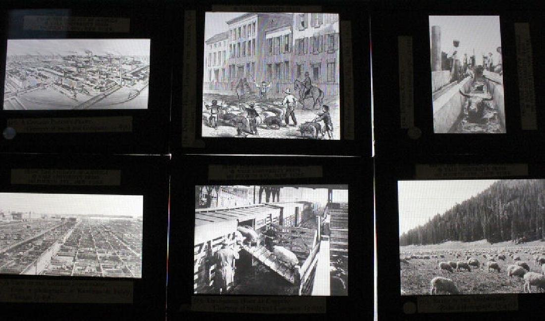 26 Lantern Slides - Boxed Series Story of Cattle - 2