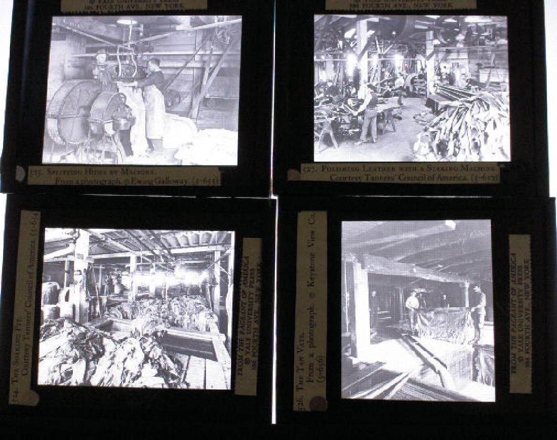 26 Lantern Slides - Boxed Series Story of Cattle - 4