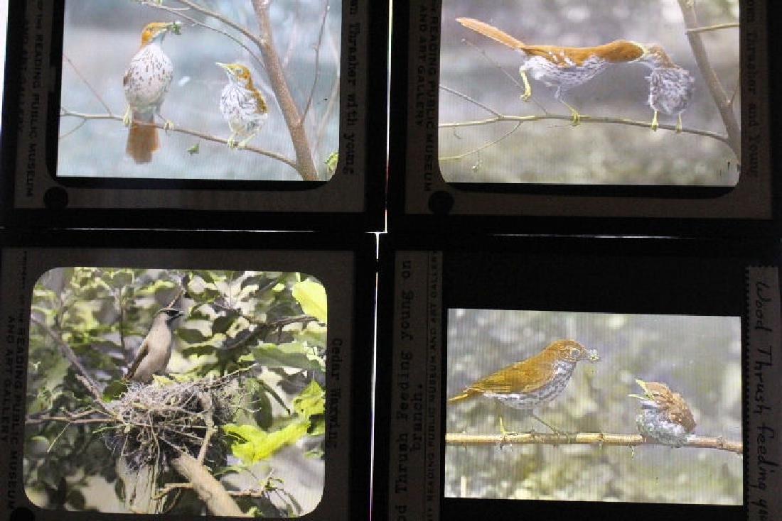 22 Lantern Slides - Birds