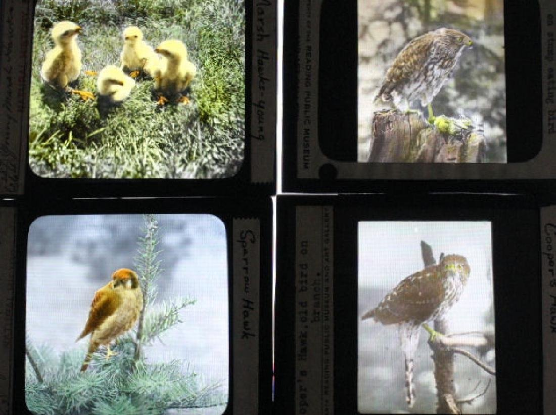 10 Lantern Slides - Hawks