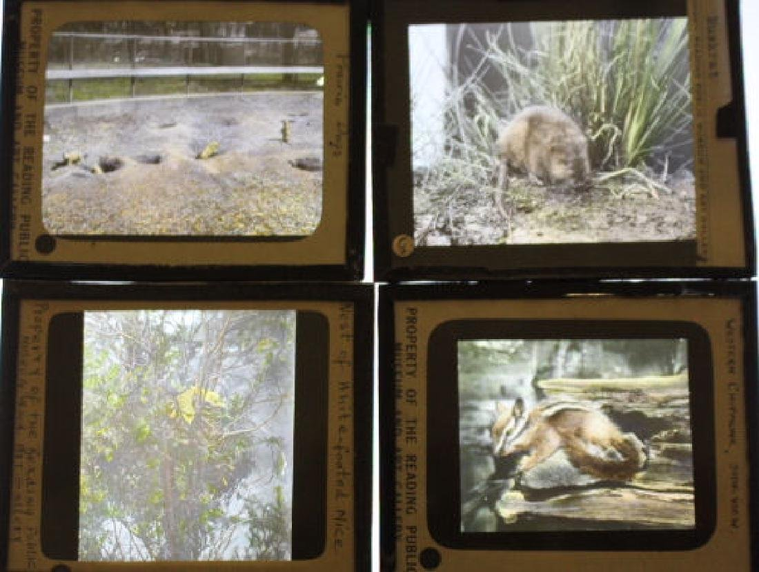 47 Lantern Slides - Animals