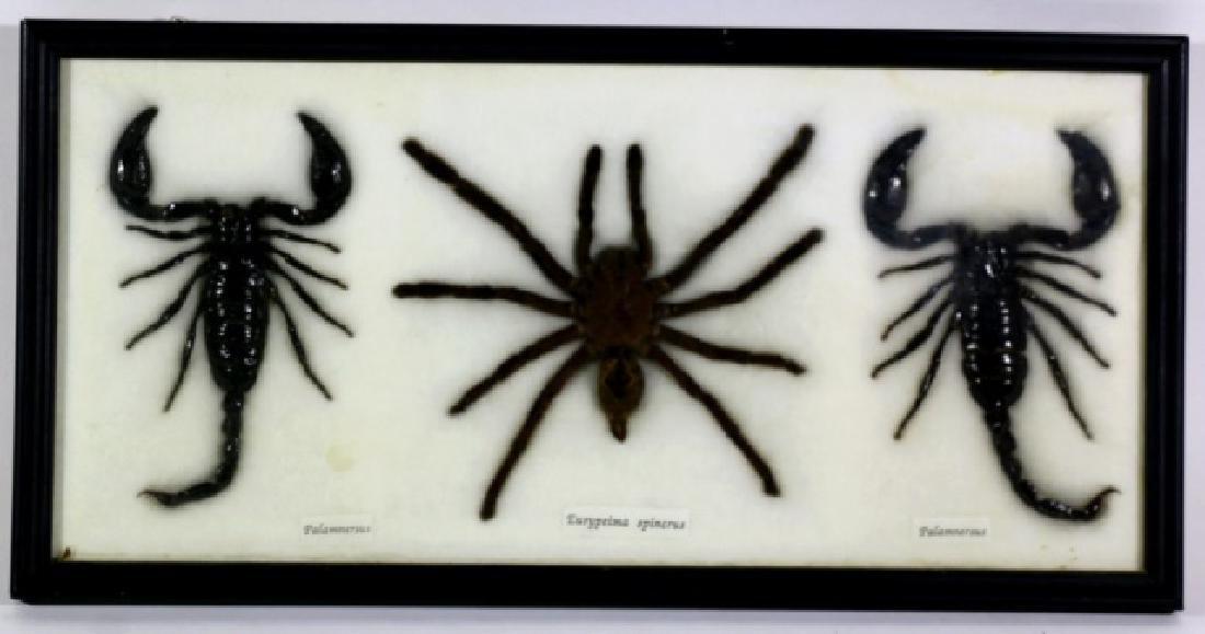 TWO BLACK SCORPION PALAMNAEUS & SPIDER SHADOW BOX