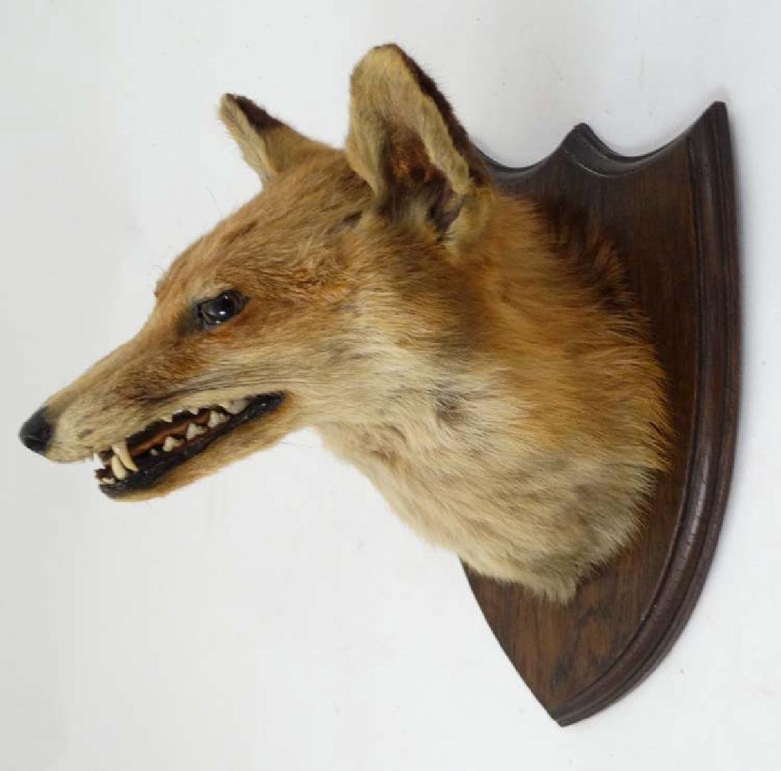 Taxidermy : A Fox mask , affixed to an oak shield , the