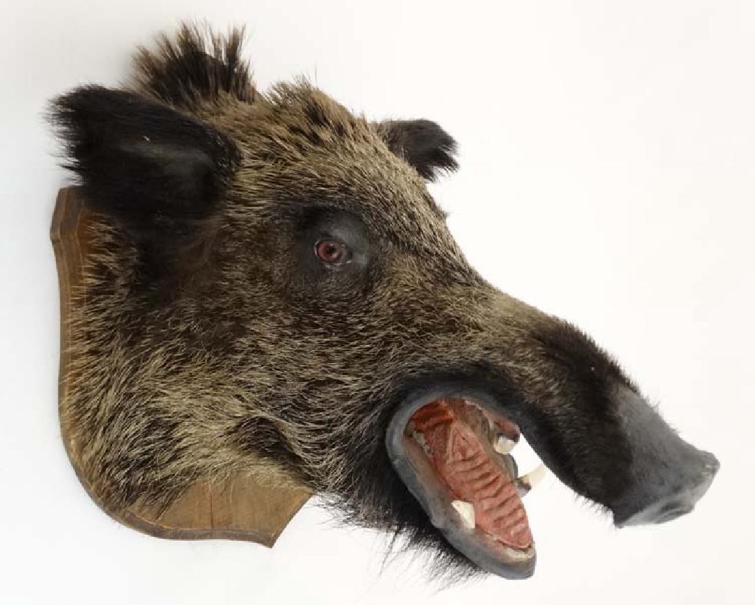 Taxidermy : A Head Mount of an Eurasian Wild Boar ,
