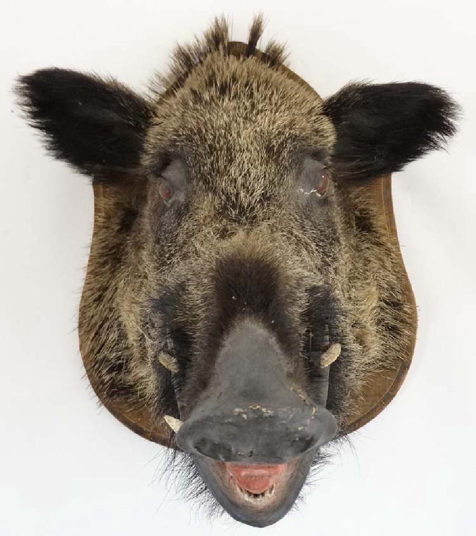 Taxidermy : A Head Mount of an Eurasian Wild Boar , - 3