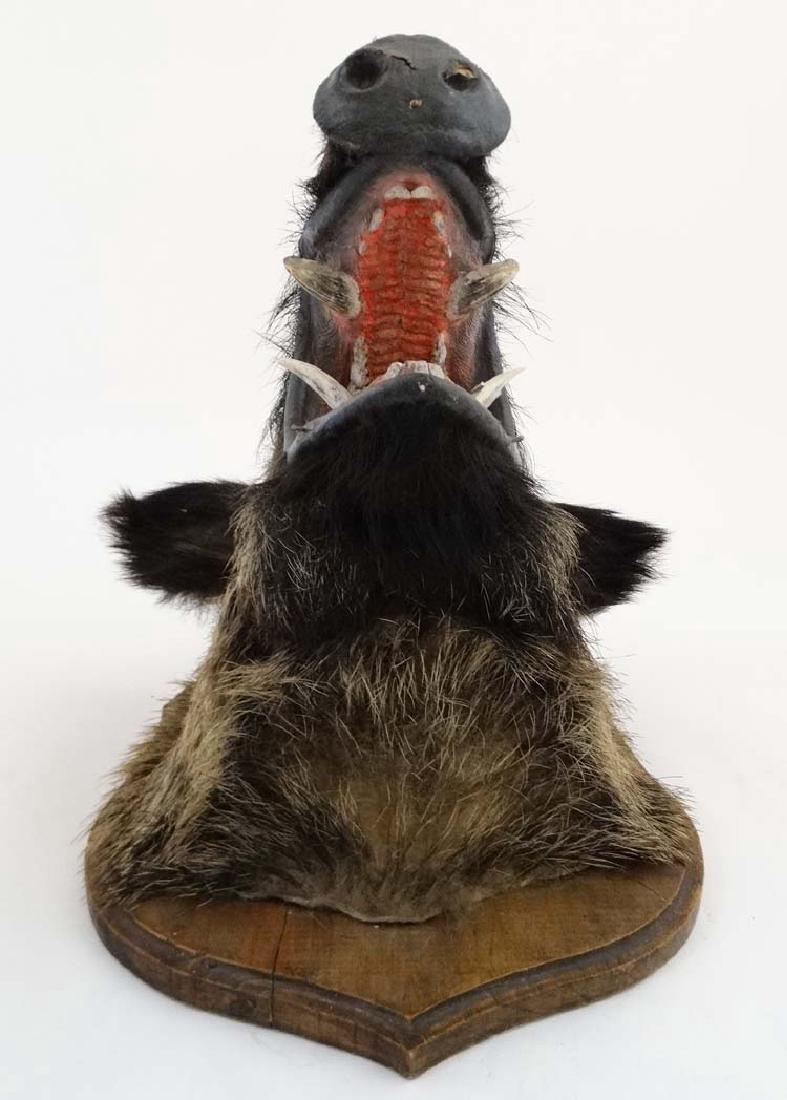 Taxidermy : A Head Mount of an Eurasian Wild Boar , - 4