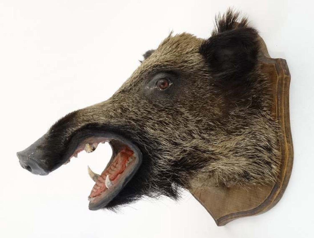 Taxidermy : A Head Mount of an Eurasian Wild Boar , - 5