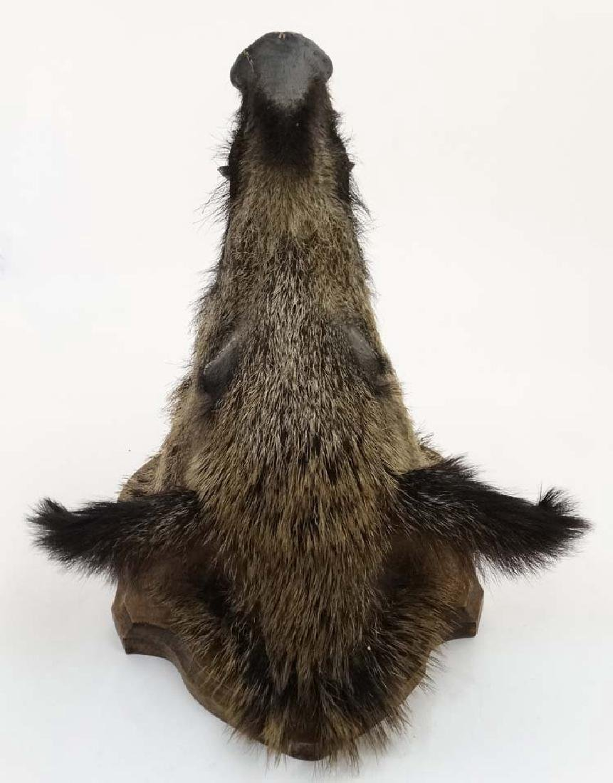 Taxidermy : A Head Mount of an Eurasian Wild Boar , - 6
