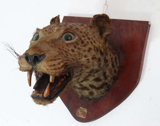 Taxidermy - Big Game : A c.1900 mounted leopards head