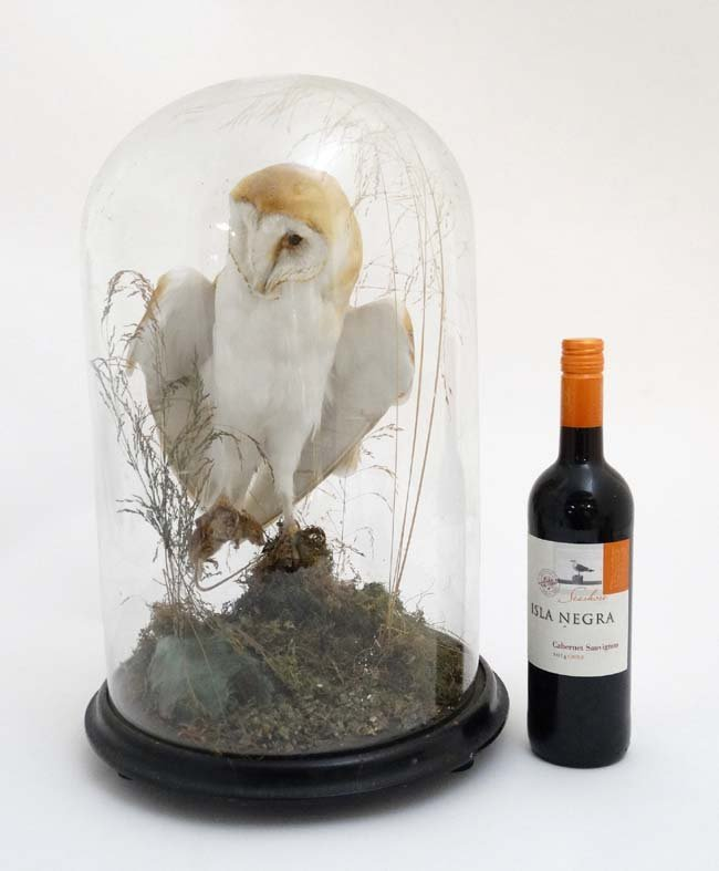 Taxidermy : A c1900 dome - cased Barn Owl , mounted