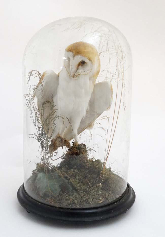 Taxidermy : A c1900 dome - cased Barn Owl , mounted - 3
