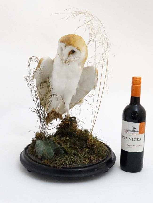 Taxidermy : A c1900 dome - cased Barn Owl , mounted - 4
