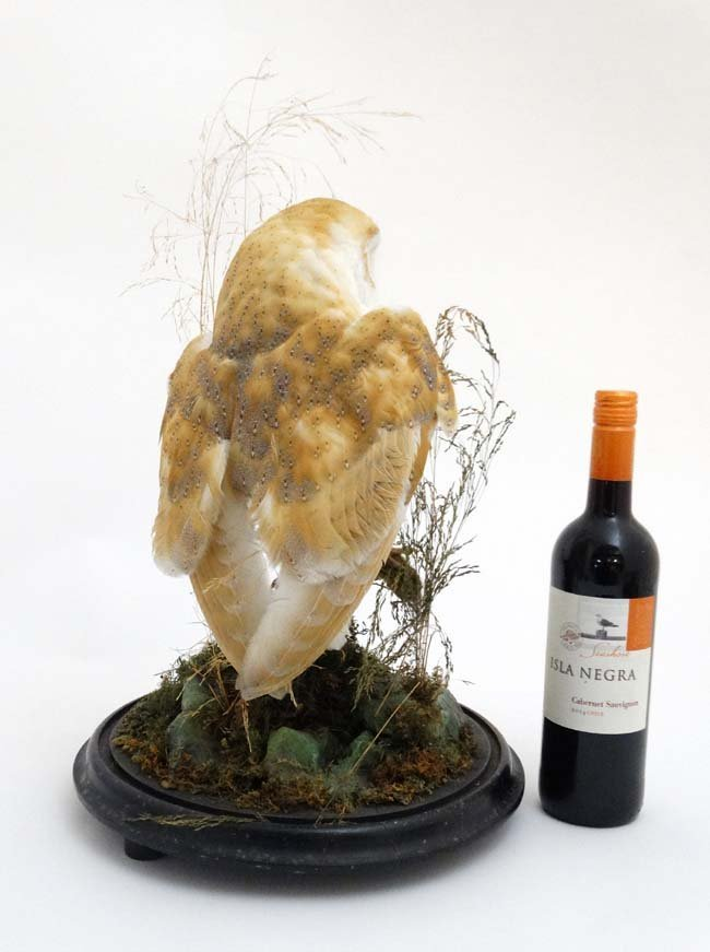 Taxidermy : A c1900 dome - cased Barn Owl , mounted - 5