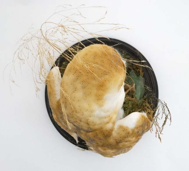 Taxidermy : A c1900 dome - cased Barn Owl , mounted - 6