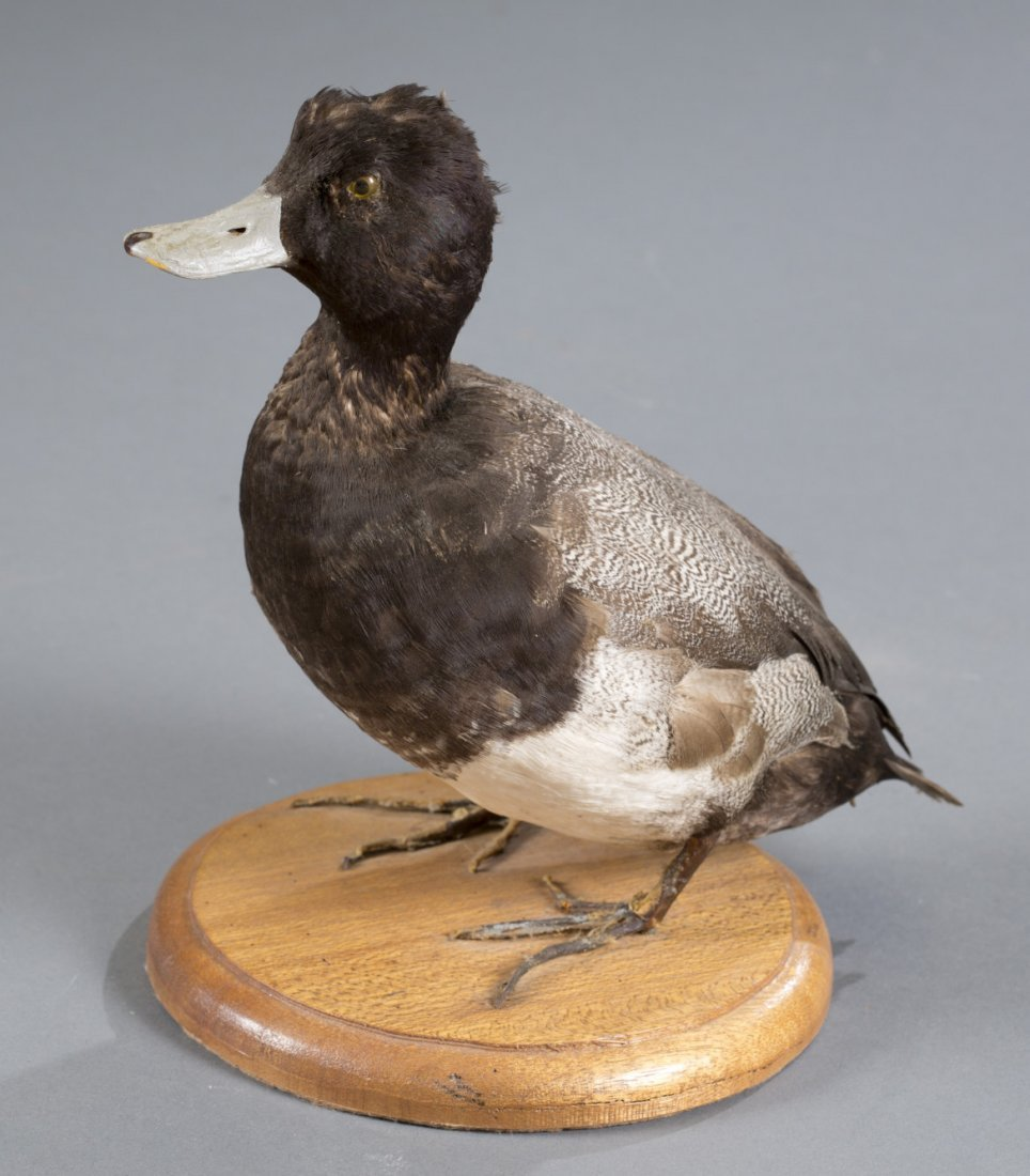 Brown Head Spotted Duck Taxidermy Mount