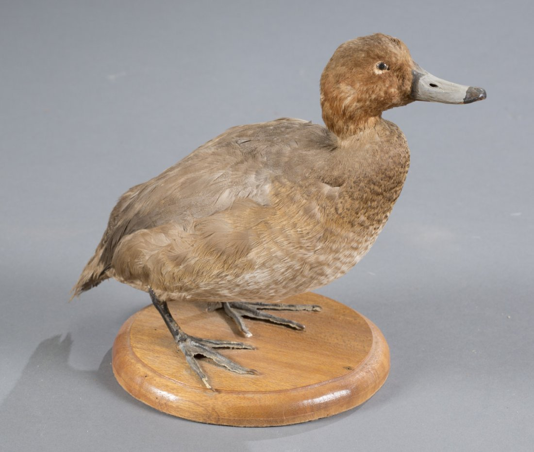 Light Brown Bird Taxidermy Mount