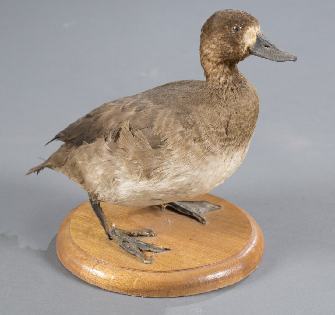 Small Gadwall Duck Taxidermy Mount