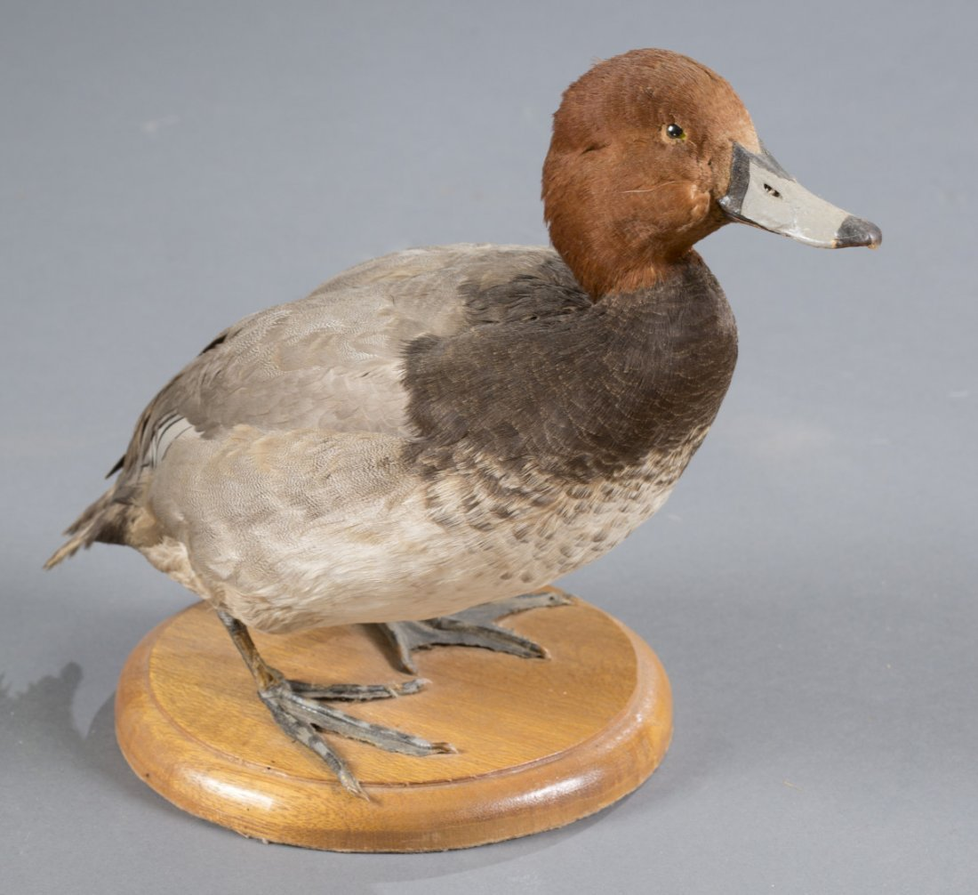 Redhead Duck Taxidermy Mount