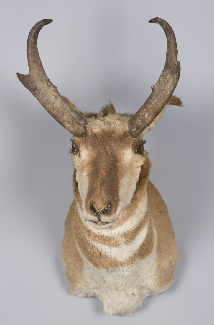 Prong Horn Deer Taxidermy Mount
