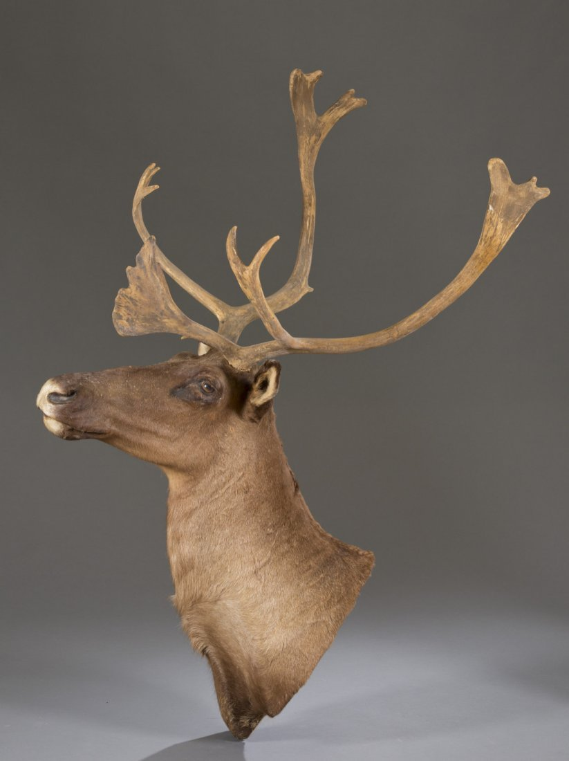 Moose Head Taxidermy Mount
