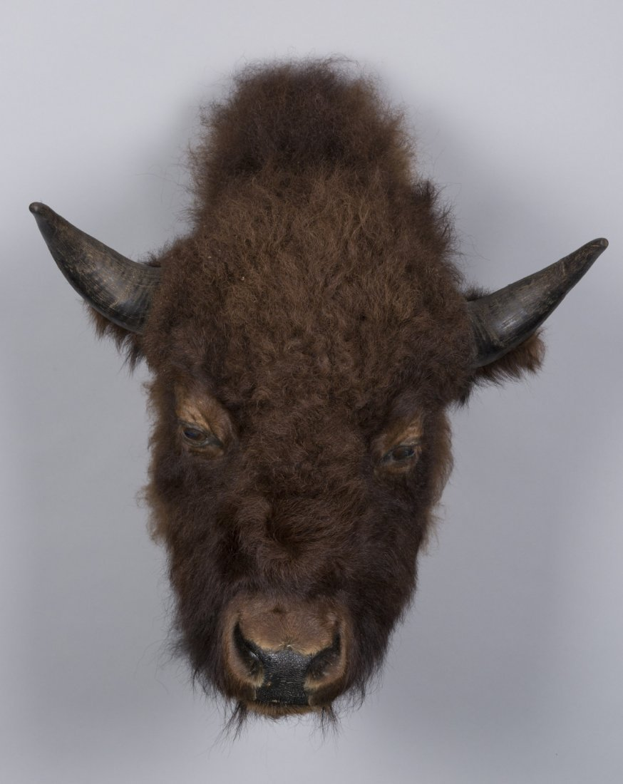 Buffalo Taxidermy Mount